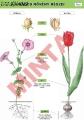 A virágos növény részei 2.