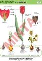 A tulipán