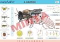 A háziméh