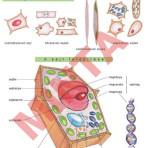 A növényi sejt