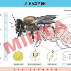 A házi méh