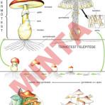 A kalapos gombák teste és élete