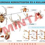 A koronás keresztes pók és a kullancs
