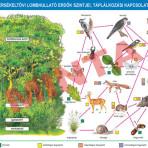 A mérsékelt övi lombhullató erdők szintjei, táplálkozási kapcsolatai